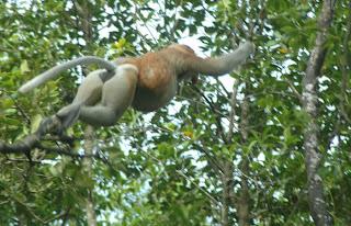 Bekantan di Hutan Mangrove Tarakan