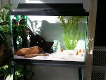 Fish Tank Goldfish Aquarium