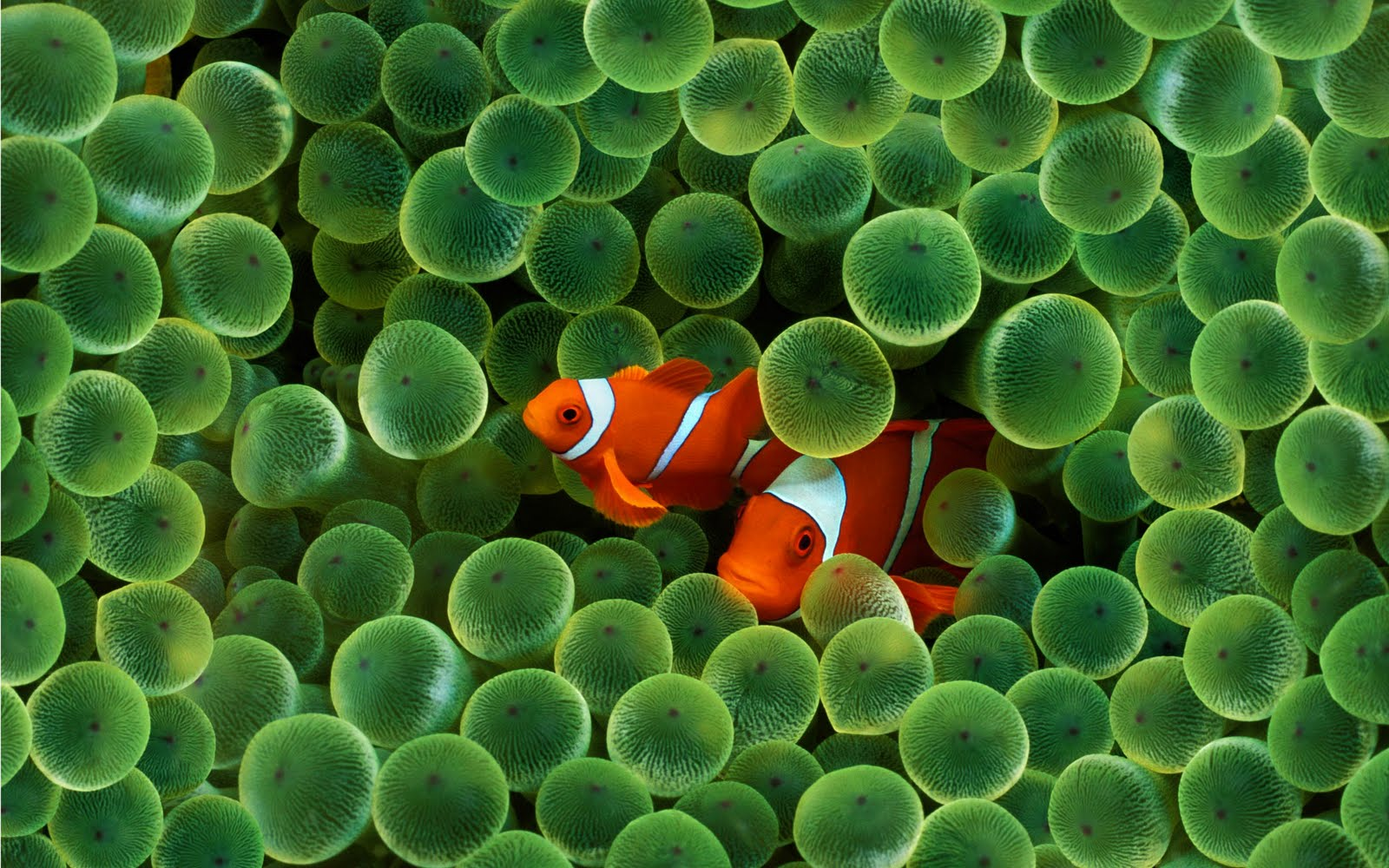 http://2.bp.blogspot.com/_z2vhQMYW11I/THXb-0aLFKI/AAAAAAAAAGE/UkxG3l10WF8/s1600/clown-fish-wallpapers_5182_2560x1600.jpg
