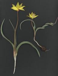 Tulipa valenciana