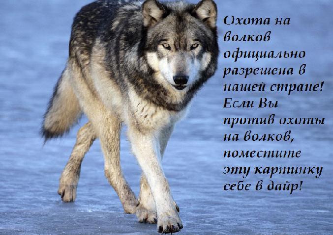 Крутые фотки волка