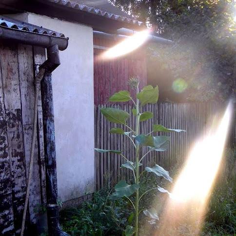 Pierwszy słonecznik i bułki