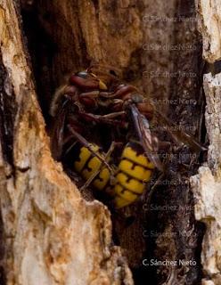 Avispones en la entrada al nido