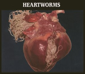 Can Heartworms Be Cured In A Dog