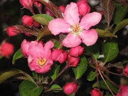 fleur de pomme