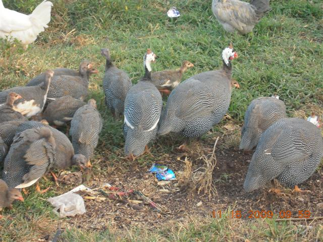 What is a Guinea Fowl?