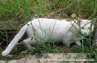 gambar kucing jantan putih
