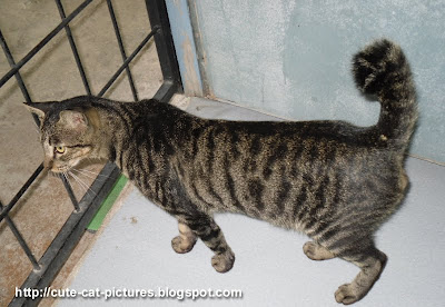short tail tabby cat picture