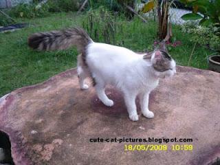 yawning white fat cat