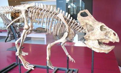 [VE_protoceratops_fossil]