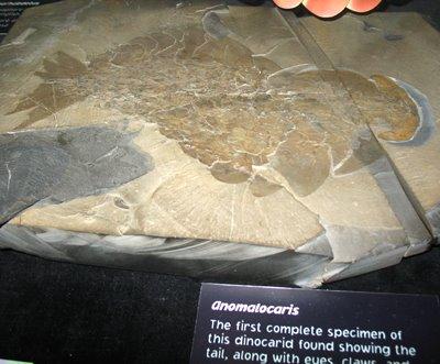 [VE_Anomalocaris_fossil]