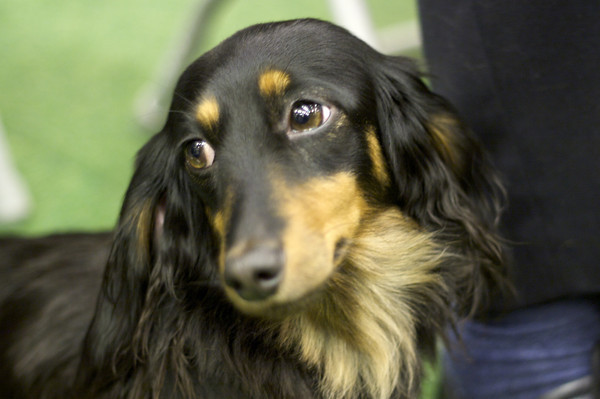 long haired dachshund photos. long haired dachshund dogs.