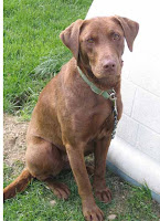 perro raza labrador chocolate