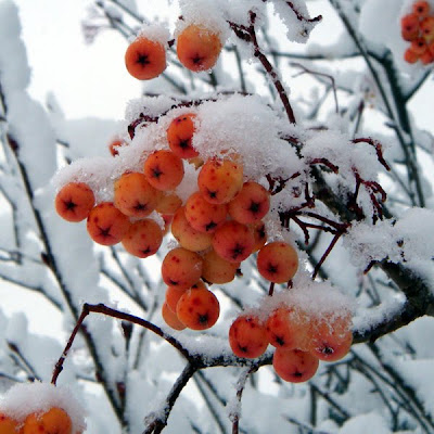 Tree berries covered in snow