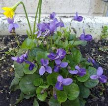 Cheche; Violetas Imperiales  2/03/09