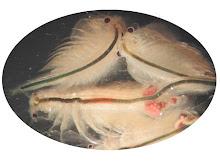 Monyet Laut Imam AlMahdi(Artemia Salina)