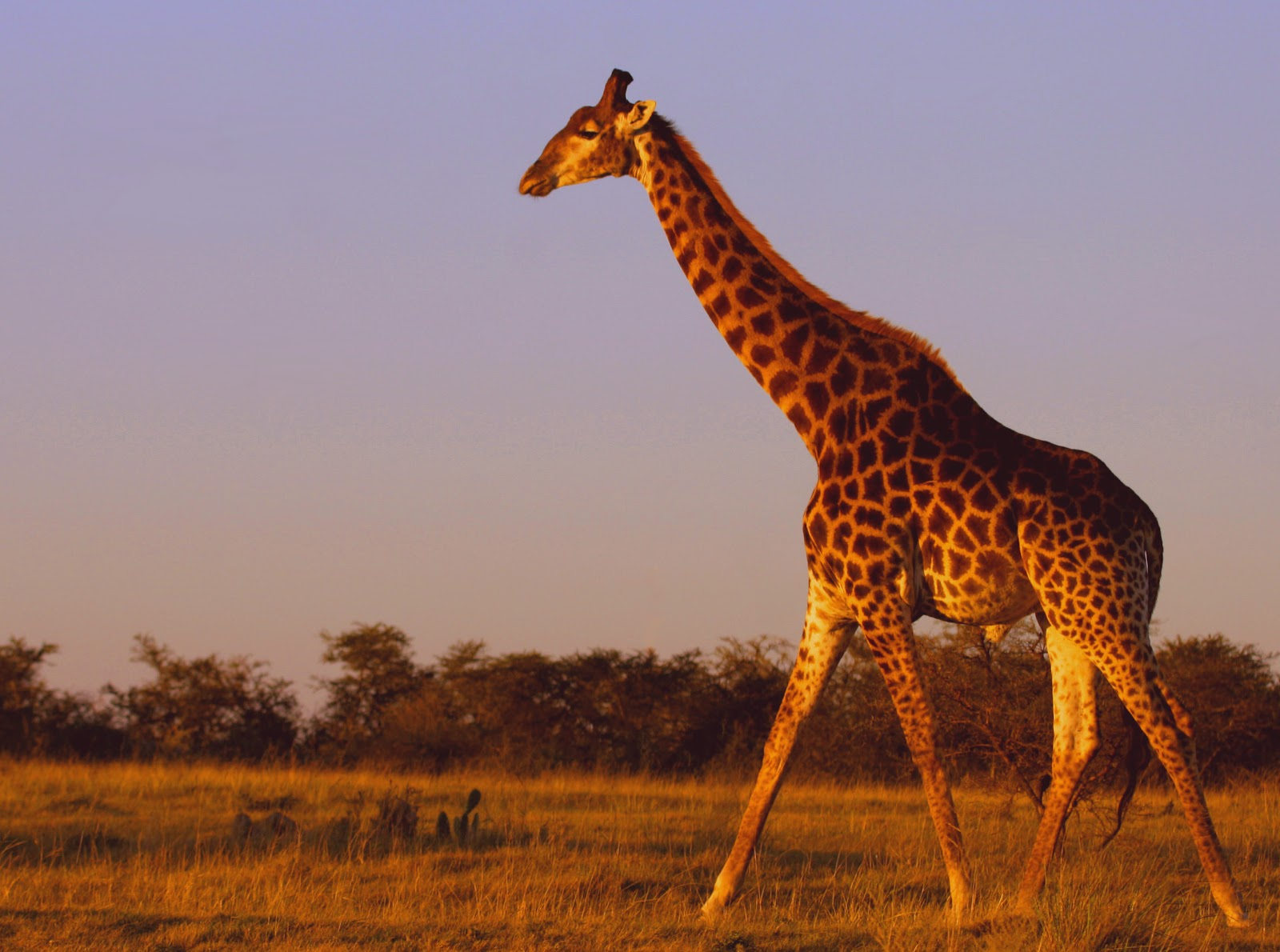The Game Lodge Index: Fun Facts about Giraffes!