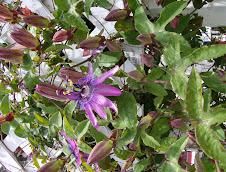 Passionflower Vine