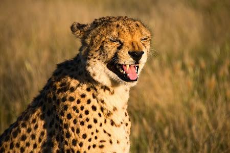 Cheetah baring teeth, Otjitotongwe Cheetah Park near Kamanjab, Namibia © Matt Prater