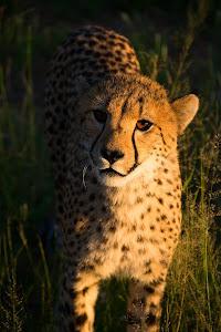 Cheetah, Otjitotongwe Cheetah Park near Kamanjab, Namibia © Matt Prater