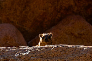 Dassie in the Brandberg massif, Damaraland, Namibia © Matt Prater
