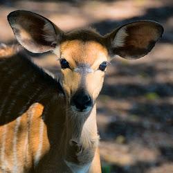 Nyala, Mlilwane Wildlife Sanctuary, Swaziland © Matt Prater
