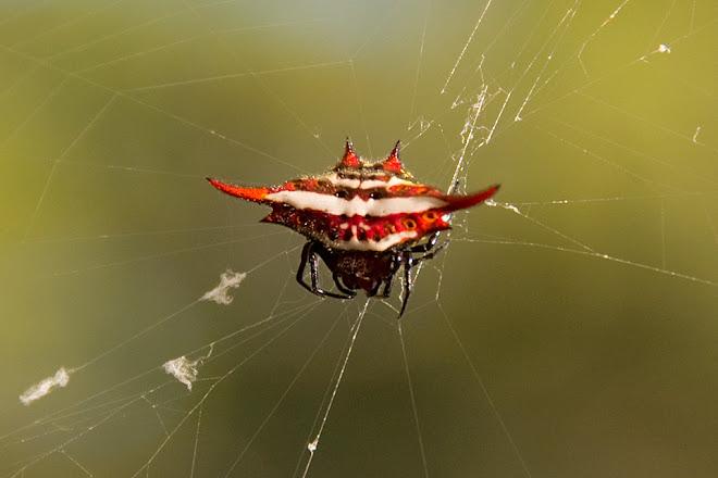 Spiny orb-weaver spider, Mlilwane Wildlife Sanctuary, Swaziland © Matt Prater