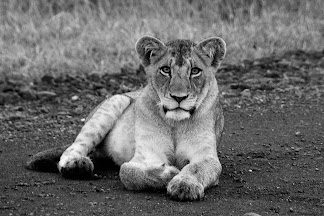 Lioness in Kruger National Park, South Africa © Matt Prater