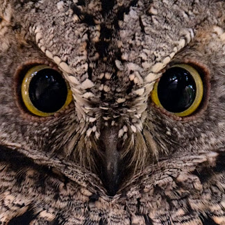 African Scops owl at Skukuza in Kruger National Park, South Africa © Matt Prater
