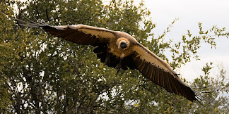 Vulture in Kruger National Park, South Africa © Matt Prater
