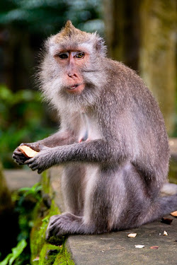 Macaque monkey in Ubud, Bali, Indonesia © Matt Prater