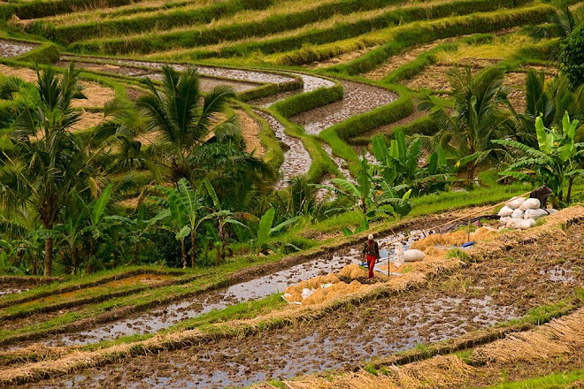 Rice terraces at Jatiluwih in central Bali, Indonesia © Matt Prater