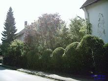Die  malerische Hecke des Nachbarn und unsere Tanne
