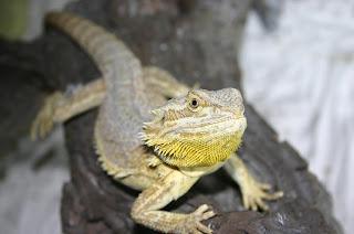 Sunburst bearded dragon - photo#16