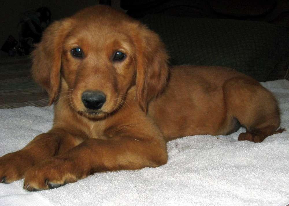 Golden Retriever dogs and puppies: Dark Golden Retriever