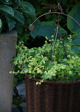 Alchemilla alpina