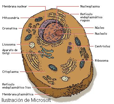celula animal y sus partes. celula animal y sus partes.