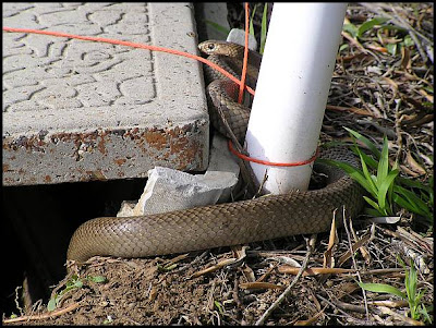 Pictures Of Snakes To Colour In. Brown Snake (Pseudonaja