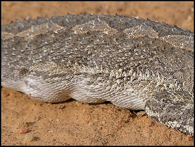 Gravid dragon lizard