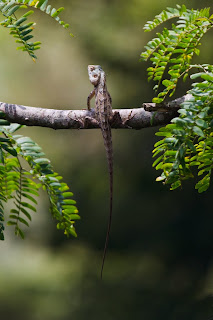 An Oriental Garden Lizard (Calotes versicolor) photographed in Kandy, Sri Lanka