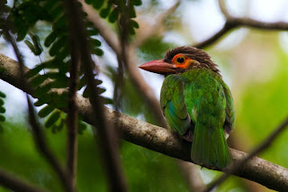 A Brown Headed Barbet, also called the Large Green Barbet, photographed in Anuradhapura, Sri Lanka