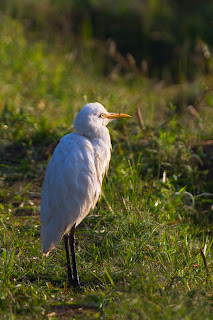 A Cattle Egret photographed in Anuradhapura, Sri Lanka