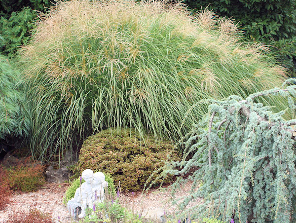 A guide to northeastern gardening grasses groundcovers for Maiden fountain grass