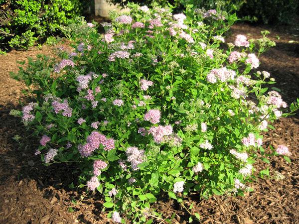 guide  northeastern gardening deciduous treesshrubs