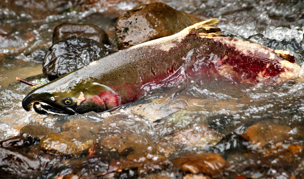 Salmon Spawning Behavior