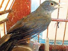Tráfico de aves e aninais silvestres