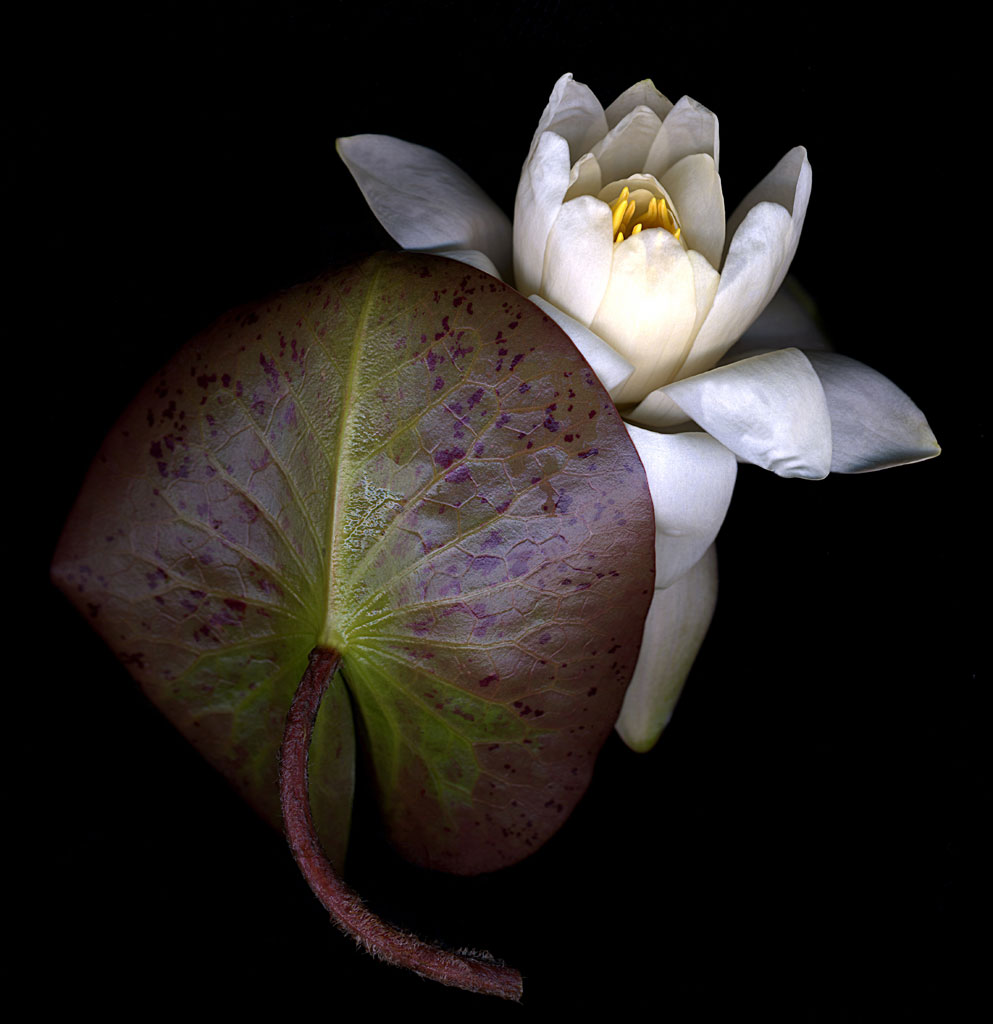 [water_lily_leaf&flower.1024]