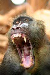 http://2.bp.blogspot.com/_zOce5ueXOjk/SeIuST60nOI/AAAAAAAAAFQ/L47DoTmCnfc/s320/angry+baboon.jpg