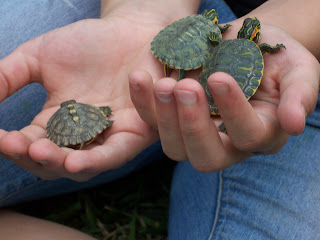 Three baby turtles