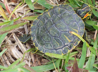 Larger-Baby-Turtle
